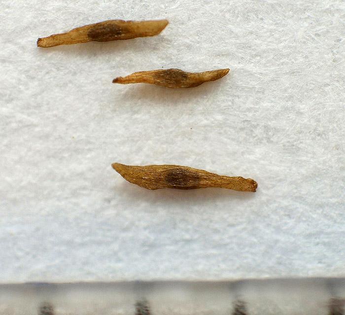 Fot. 4. Nasiona rosiczki okrągłolistnej (Fot. K. Dworzycki)