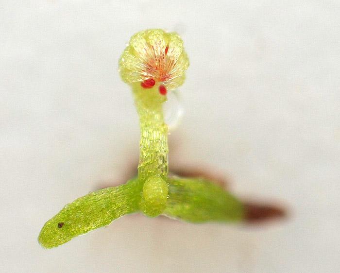 Fot. 7. Pierwszy liść pułapkowy (Fot. K. Dworzycki)