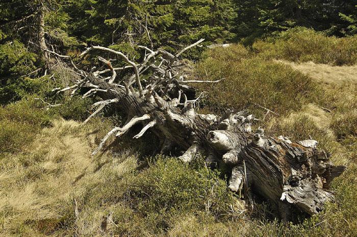 Fot. 6. – Rozkładający się pień drzewa. Kiedyś zabiły go korniki i wichury.