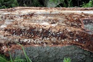 Fot. 1. - Pod korą można znaleźć żerujące larwy kornika drukarza (Fot. K.Bisaga)