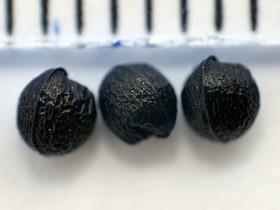 Nasiona czosnku siatkowatego, fot. K. Dworzycki