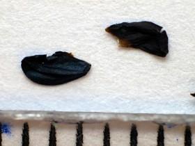 Nasiona czosnku syberyjskiego, fot. K. Dworzycki