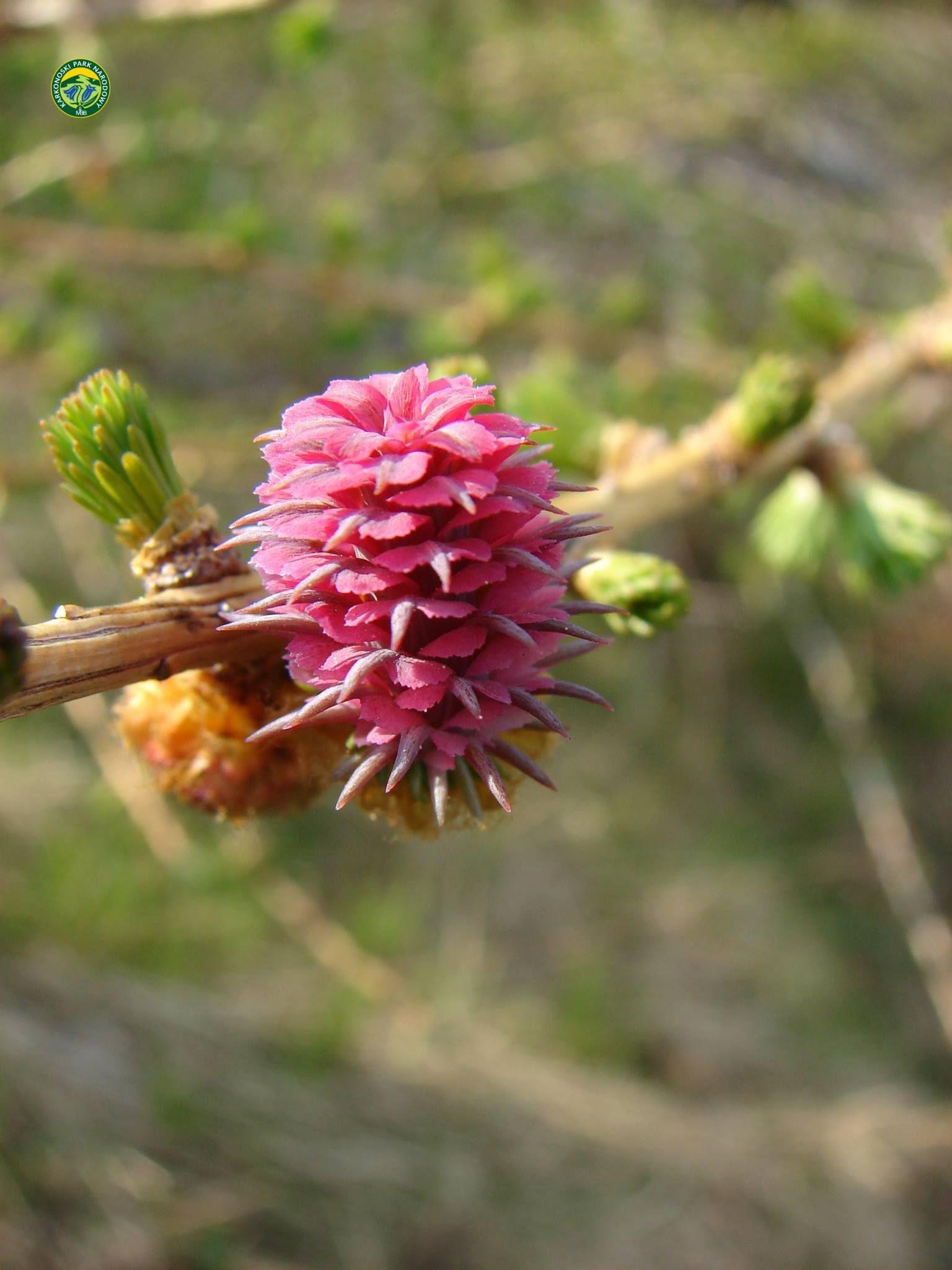 KPN_Modrzew_kwiat02